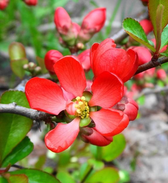 ボケの花(赤)