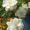 Photos: いろいろな薔薇たち……(4)