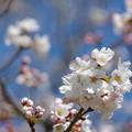写真: 宮ヶ瀬の桜1
