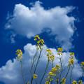 いい天気の菜の花@桶川