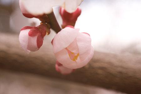 梅の花 004