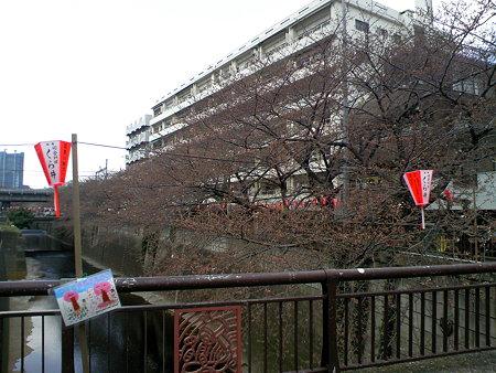 目黒川 桜、、、まだ蕾
