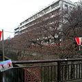 写真: 目黒川 桜、、、まだ蕾