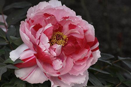2009.03.21 鶴岡八幡宮 神苑 牡丹-5