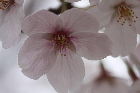 2009.04.05 染井吉野-3