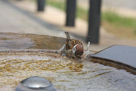 2009.04.12 港が見える丘公園 雀の水浴び