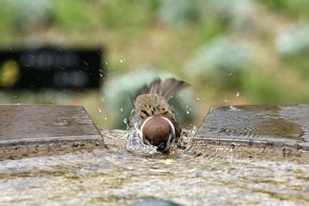 2009.04.12 港が見える丘公園 雀の水浴び-3
