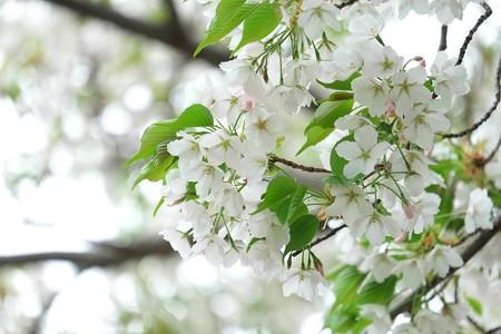 2014.04.11 和泉川 葉桜
