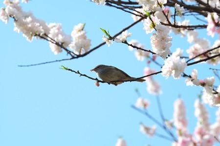 2014.04.13 和泉川  ハナモモでウグイス