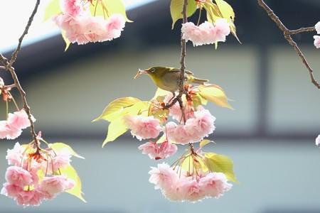 2014.04.25 和泉川 ヤエザクラでメジロ 狩
