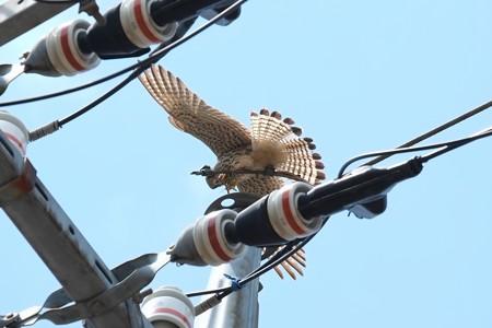 2014.04.28 追分市民の森 電柱でチョウゲンボウ 翼