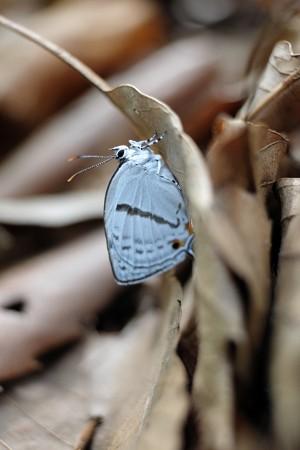 2014.06.03 瀬谷市民の森 ミズイロオナガシジミ 枯葉裏