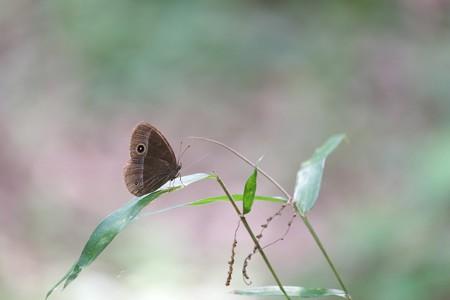 2014.06.21 瀬谷市民の森 ササにコジャノメ