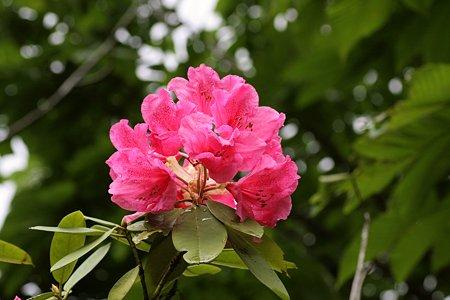 2009.05.17 石楠花