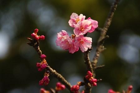 河津桜・・3
