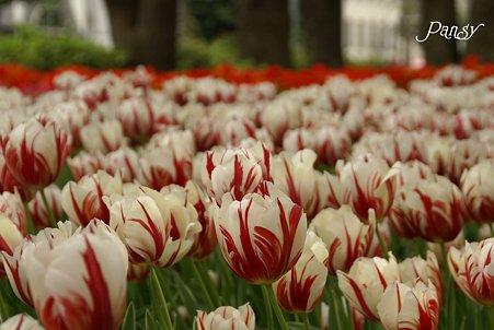 チューリップのお花畑・・6