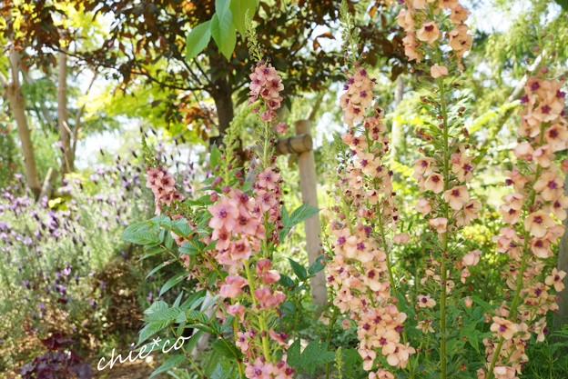 花菜ガーデン-080