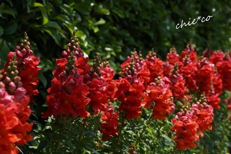 花菜ガーデン-397