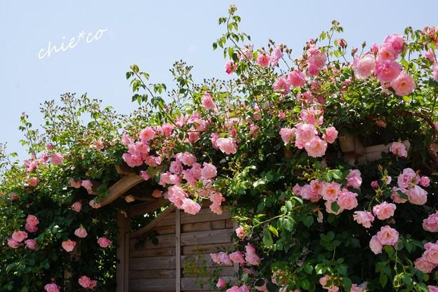 花菜ガーデン-358