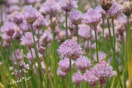 花菜ガーデン-130
