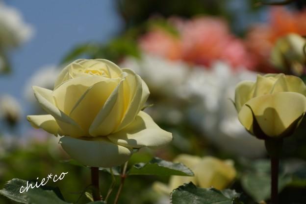 花菜ガーデン-262