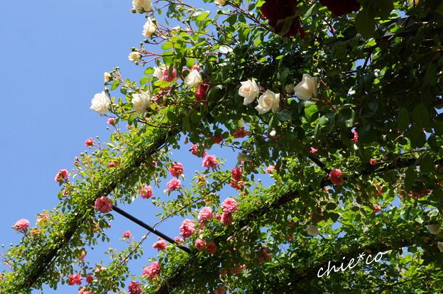 写真: 横浜イングリッシュガーデン-807