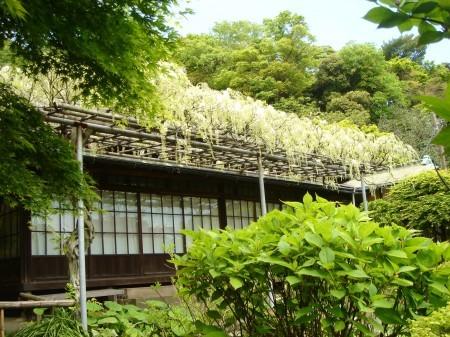 鎌倉 英勝寺の白藤