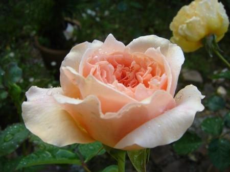 お気に入りの薔薇 エブリン