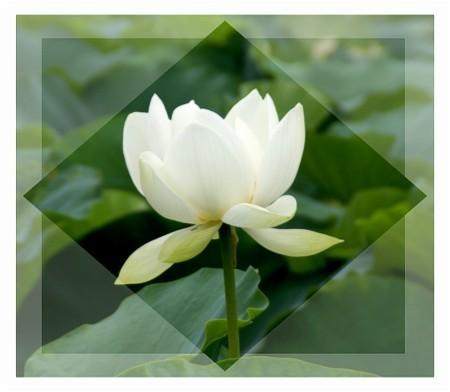 白い蓮の花 フレームで・・・