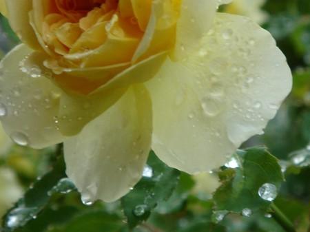 薔薇しずく・・・