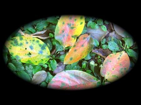 落ち葉はほんのり~柿の葉。。。