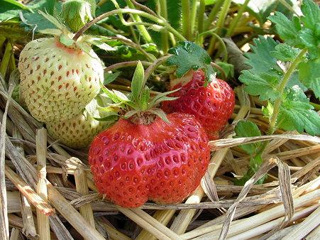 イチゴの画像 p1_9