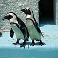 写真: 上野動物園のペンギン