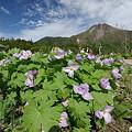 写真: シラネアオイと白根山