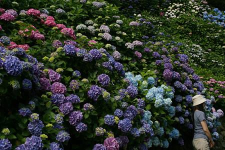 鎌倉の紫陽花0614te