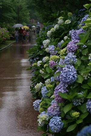 雨の紫陽花まつり0622a