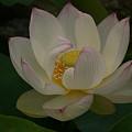 写真: 蓮の花本覚寺0705ts