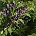 写真: 紫のコムラサキ0906