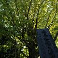写真: イチョウの大木が色づく、鎌倉/安国論寺。(11/01)