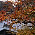 写真: サルスベリの紅葉、海蔵寺。(11/9)