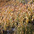 写真: 桜の木の紅葉。(11/13)