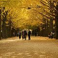 Photos: イチョウ並木を歩くシーン3。(11/15)
