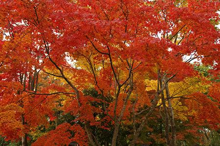オレンジ色の紅葉姿。(11/15)