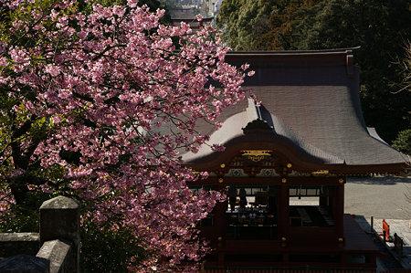 河津桜と舞殿0221k