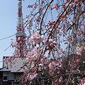 Photos: 枝垂れ桜と東京タワー!(3/19)