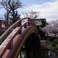 Photos: 反橋と桜の境内、称名寺14!