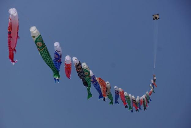 凧と鯉のぼり、由比ヶ浜!14
