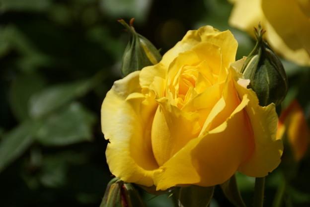 写真: 黄色いバラ蕾2014