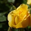 黄色いバラ蕾2014