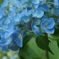 写真: 紫陽花140531